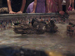 March of the Peabody ducks at the Peabody Hotel in Memphis TN 07202012-13