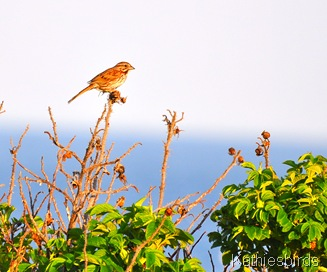 6. song sparrow-kab