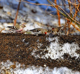 13. Common Redpolls-kab
