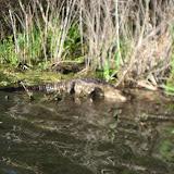 Alligator at Barefoot Landing in Myrtle Beach - 01