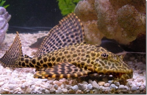 be-ca-canh-leopard_pleco_catybabeo004-be-thuy-sinh
