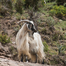 by Lanie Badenhorst - Animals Other ( #goat,  )
