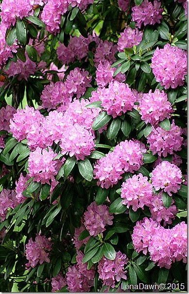 Rhododendron Lavender 5_19