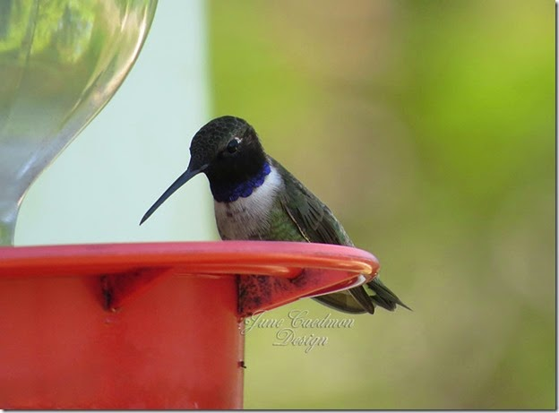 Black_Chinned_Hummingbird3