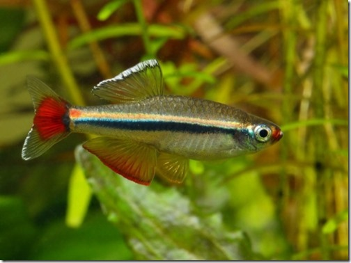 be-ca-canh-vietnamese_minnow_cardinal_vietnam_caneonvietnam002-be-thuy-sinh