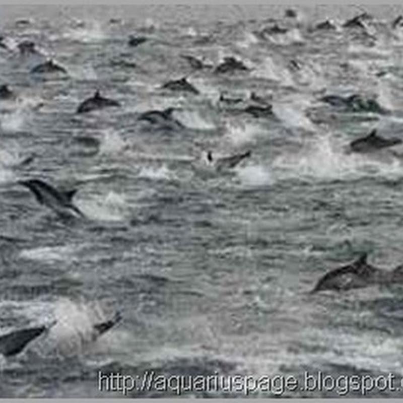 Movimento Incomum de Golfinhos na Costa da Califórnia - Mensagens subliminares da natureza?
