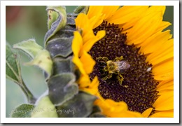 October 16, 2015 - A bee covered in pollen collects more pollen from a sunflower in the sunflower patch. Photo by Faith Davis