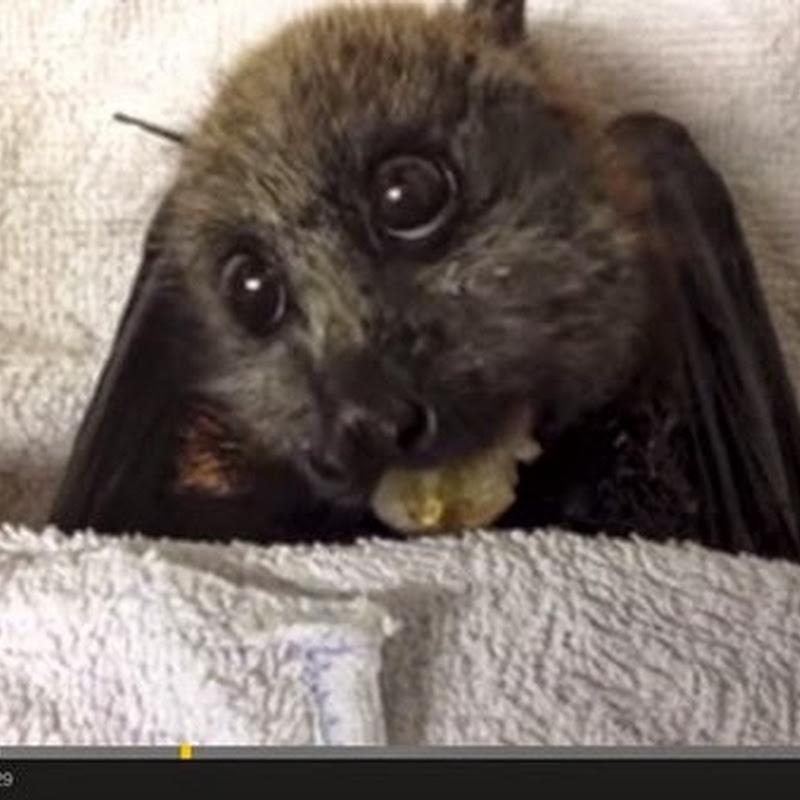 Νυχτερίδα τρώει σταφύλια