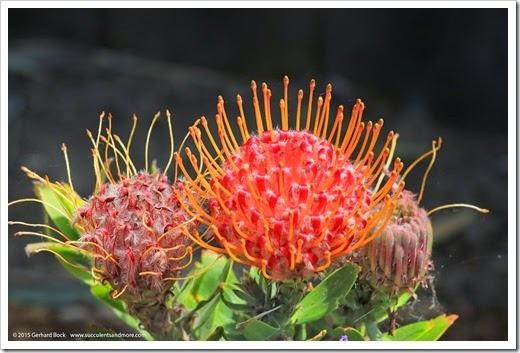 150422_Leucospermum-Scarlet-Ribbon_001