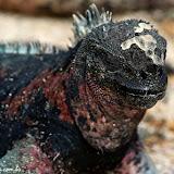 Iguana marinha - Punta Suarez - Española - Galápagos