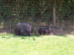 2007.08.09-040 cochons du Vietnam