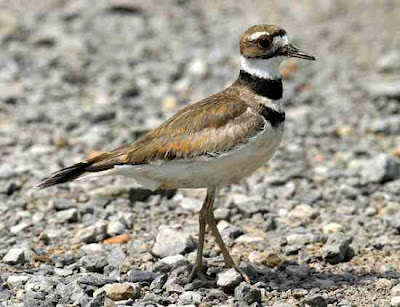 Burung Killdeer