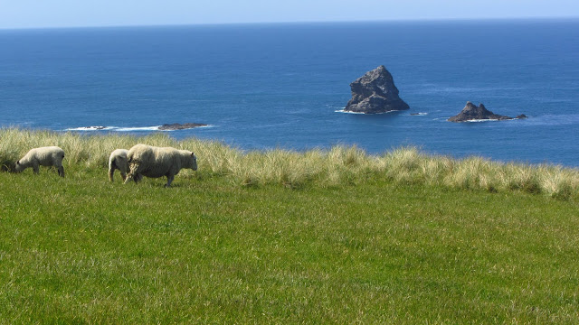 Sheep grazing near Sandfly Bay.