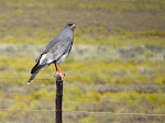 Pale chanting goshawk (photo by Clare)