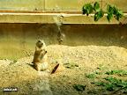Prerijų šuo