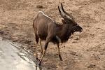 Nyala – Mkhuze Game Reserve