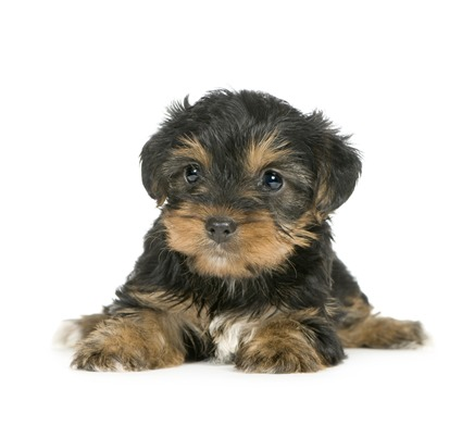 Yorkshire-Terrier-Puppie