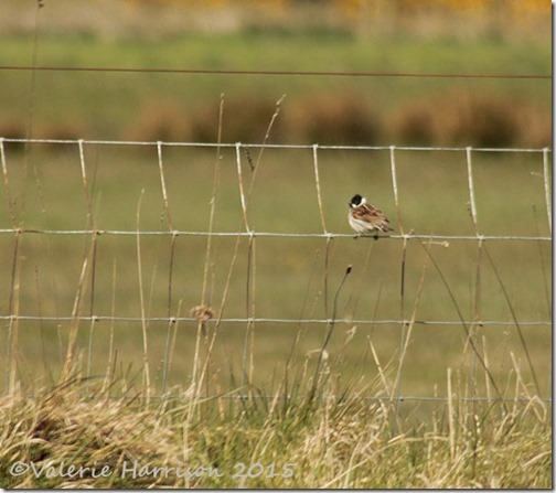 11-Reed-bunting