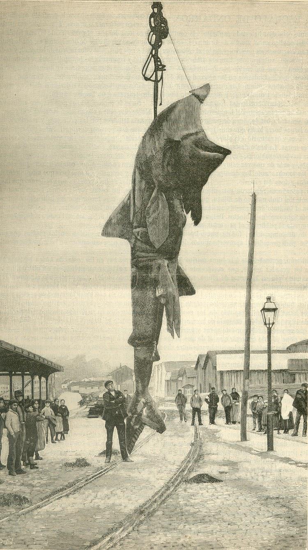 Muelle de Uribitarte. Bilbao. Exposición del tiburon pescado por marineros de Ondarroa. De la revista La Naturaleza. Año 1890.jpg