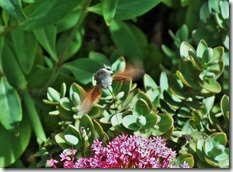 Hummingbird Hawkmoth June 2015 (1)