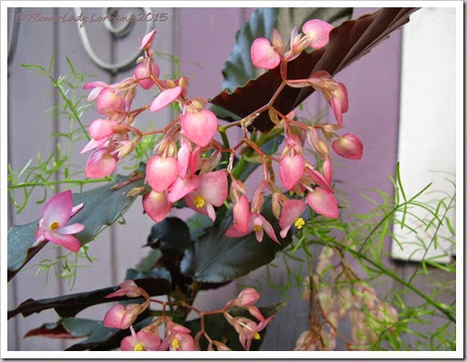 04-23-begonia