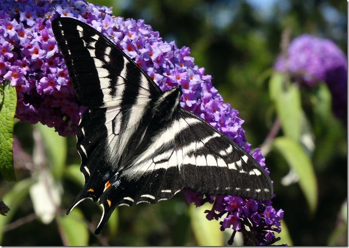 lopez tiger swallowtail 062015 00002