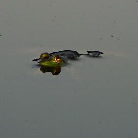 Frog Afloat by Joyce Trowbridge - Animals Amphibians ( nature, frog, green, floating, eyes )
