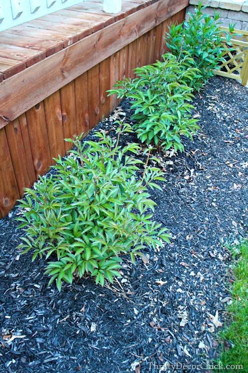 peony plants