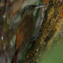 Cocoa Woodcreeper and Gecko