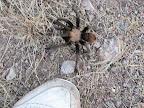 tarantula visiting Mel's shoe