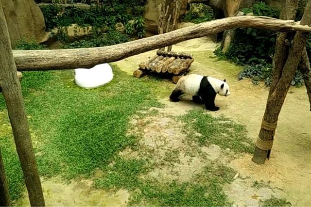 Fu Wa Giant Panda | Xing Xing