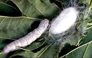Gusano de seda fabricando la seda