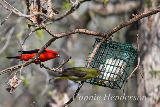 Male and female Tanagers (2)