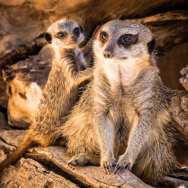 Meerkats by Dave Lipchen - Animals Other Mammals ( meerkats )