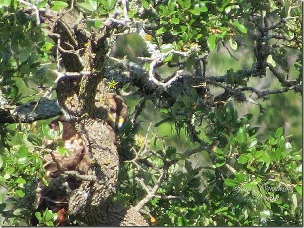 Hawk_tree