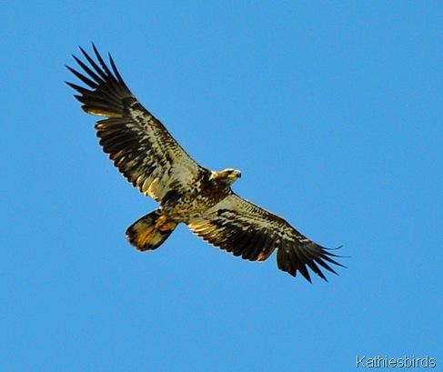 21. immature bald eagle-kab