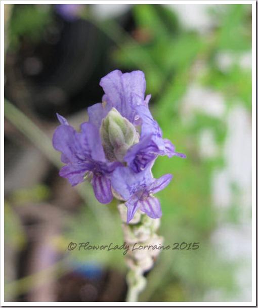 06-11-fernleaf-lavender