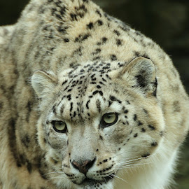 Snow Leopard by Ralph Harvey - Animals Lions, Tigers & Big Cats ( wildlife, ralph harvey, snow leopard, marwell zoo, animal )