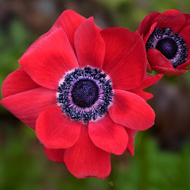 Poppy 9835 by Raphael RaCcoon - Flowers Flower Gardens