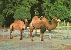 montevran chameau