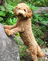 Charming Tinley Gorgeousdoodles stud dog.