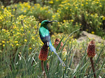 Malachite sunbird (photo by Clare)
