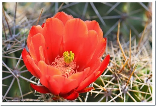 150422_Echinocereus-triglochidiatus_001