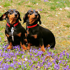 Synchronous by Alin Achim R - Animals - Dogs Portraits ( colors, dog portrait, flowers, spring )