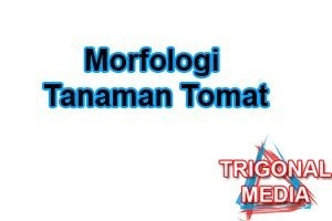 Morfologi Tanaman Tomat