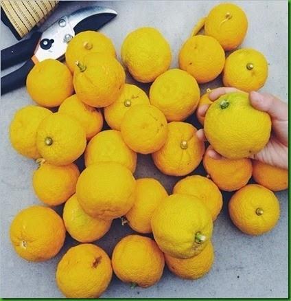 Yuzu frutos pequenos_thumb[2]