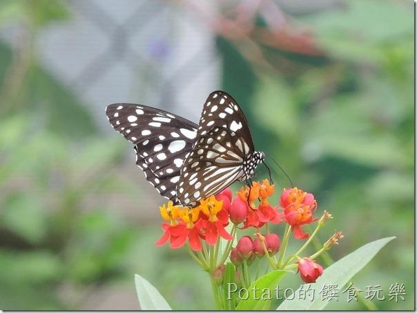菁寮國小的蝴蝶園-絹斑蝶與花兒3