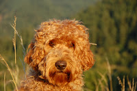 red labradoodle, tennison is a gorgeous doodle