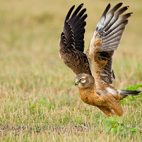 Circus Harrier..! by Srikanth Iyengar - Animals Birds ( bird, montagu, flight, srikanth, iyengar, harrier )