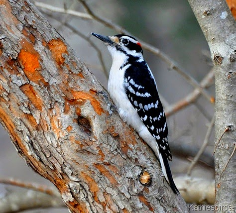 1. hairy Woodpecker-kab